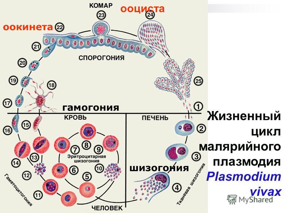 Жизненный цикл малярийного плазмодия Plasmodium vivax оокинета гамогония шизогония ооциста