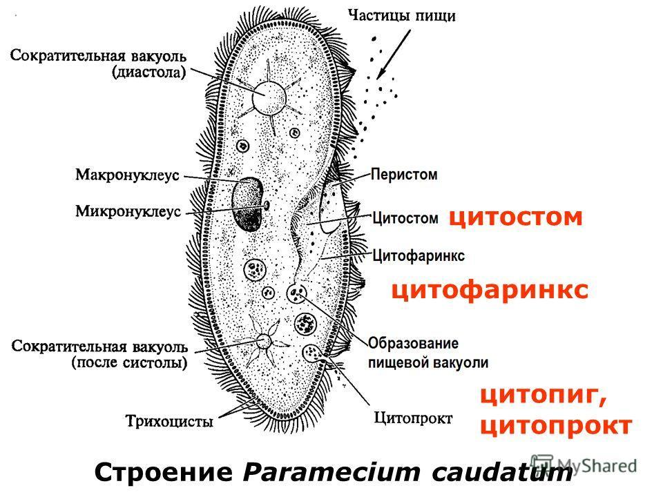Строение Paramecium caudatum цитостом цитофаринкс цитопиг, цитопрокт