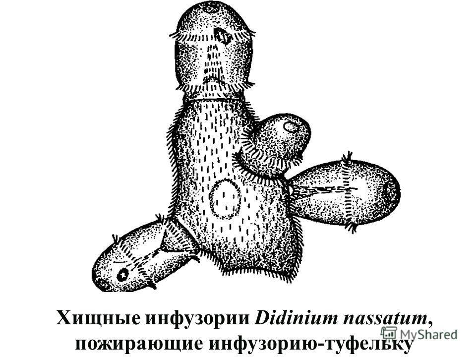 Хищные инфузории Didinium nassatum, пожирающие инфузорию-туфельку