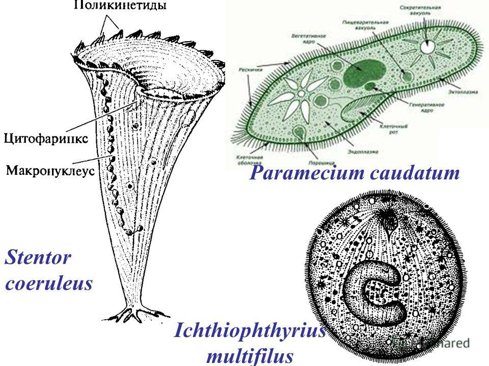 Stentor coeruleus Paramecium caudatum Ichthiophthyrius multifilus