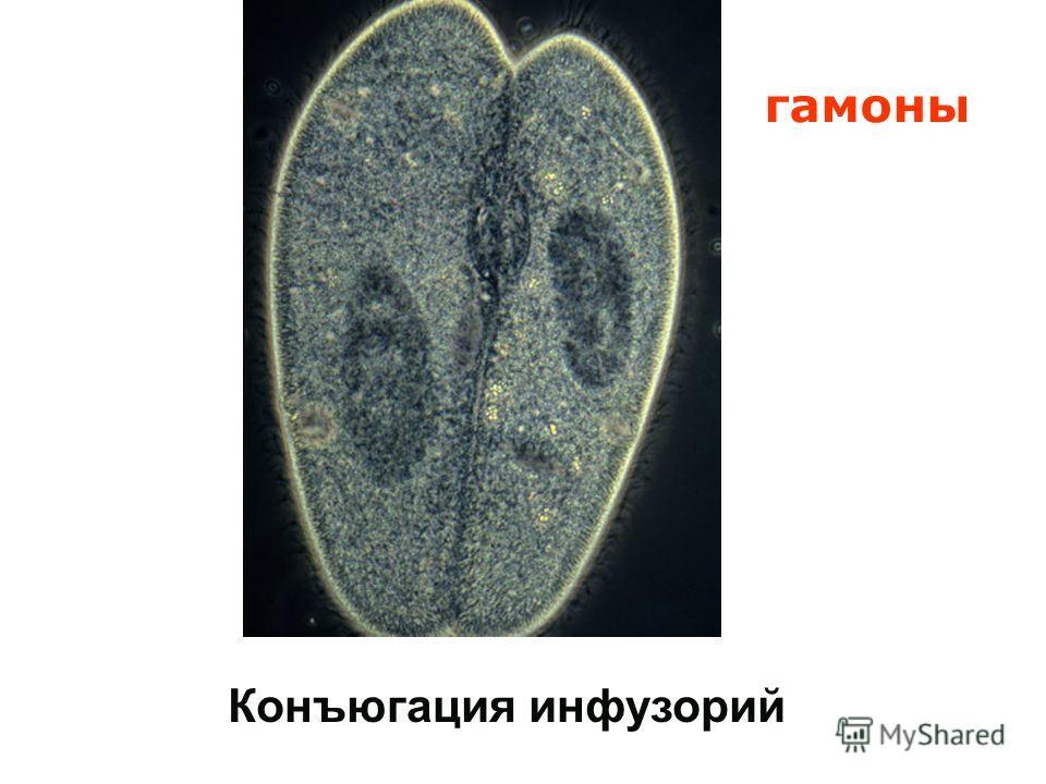 Конъюгация инфузорий гамоны