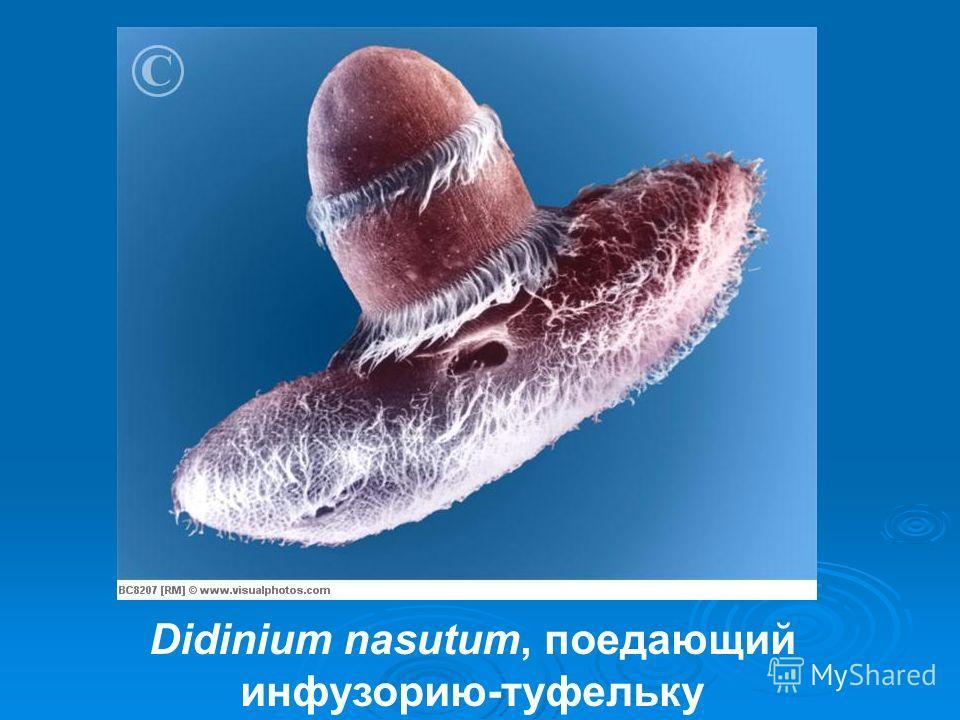 Didinium nasutum, поедающий инфузорию-туфельку