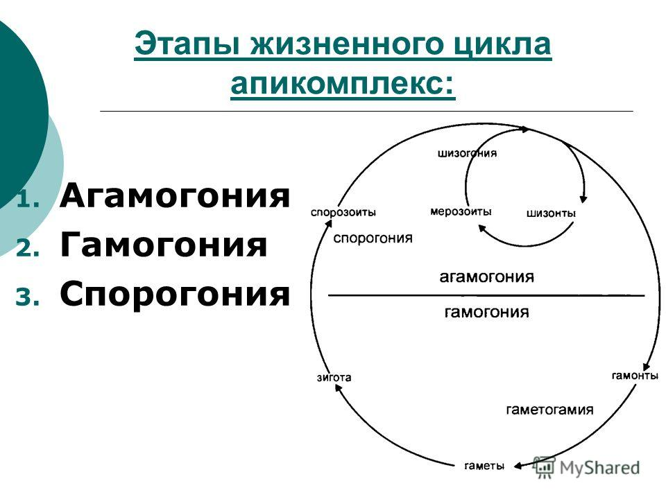 Этапы жизненного цикла апикомплекс: 1. Агамогония 2. Гамогония 3. Спорогония