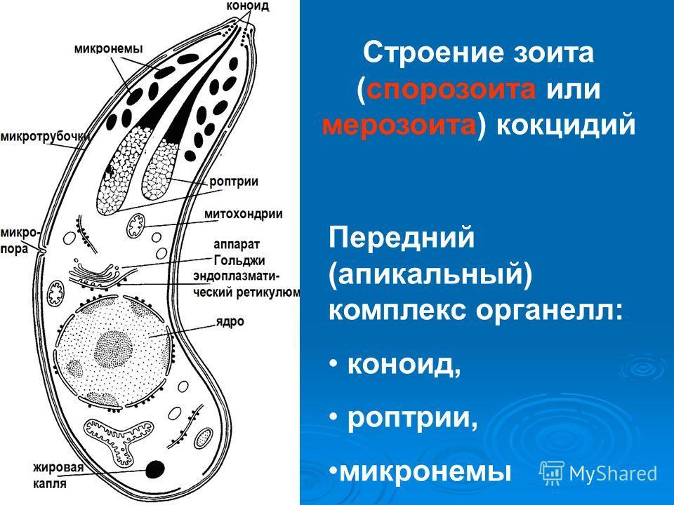 Строение зоита (спорозоита или мерозоита) кокцидий Передний (апикальный) комплекс органелл: коноид, роптрии, микронемы
