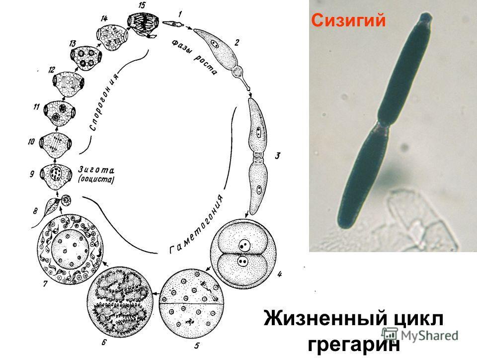 Жизненный цикл грегарин Сизигий