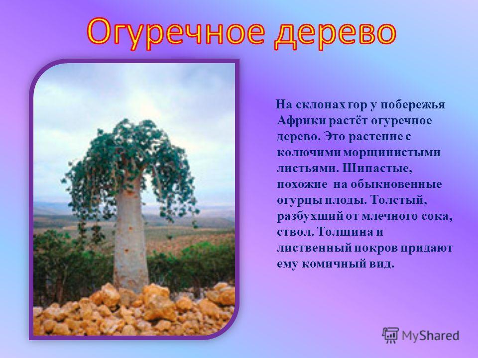 На склонах гор у побережья Африки растёт огуречное дерево. Это растение с колючими морщинистыми листьями. Шипастые, похожие на обыкновенные огурцы плоды. Толстый, разбухший от млечного сока, ствол. Толщина и лиственный покров придают ему комичный вид
