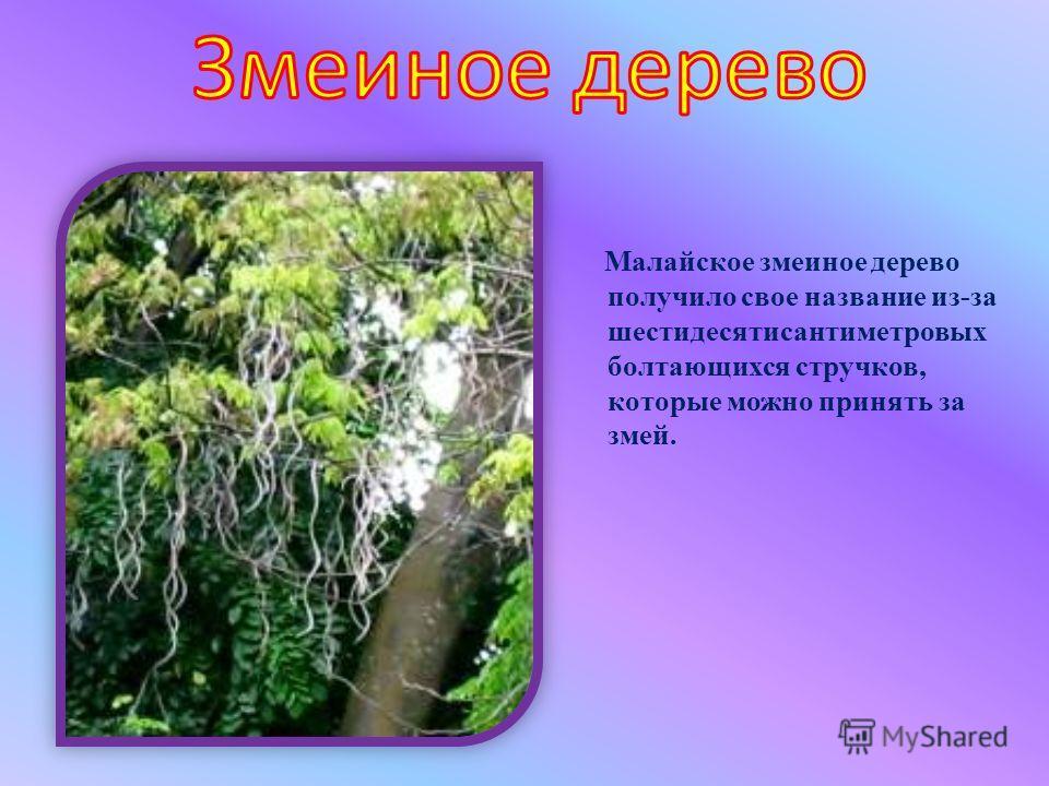 Малайское змеиное дерево получило свое название из-за шестидесятисантиметровых болтающихся стручков, которые можно принять за змей.