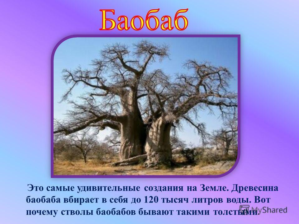 Это самые удивительные создания на Земле. Древесина баобаба вбирает в себя до 120 тысяч литров воды. Вот почему стволы баобабов бывают такими толстыми.