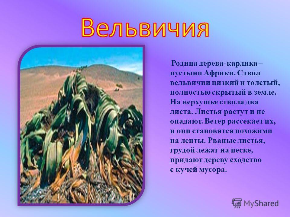 Родина дерева-карлика – пустыни Африки. Ствол вельвичии низкий и толстый, полностью скрытый в земле. На верхушке ствола два листа. Листья растут и не опадают. Ветер рассекает их, и они становятся похожими на ленты. Рваные листья, грудой лежат на песк
