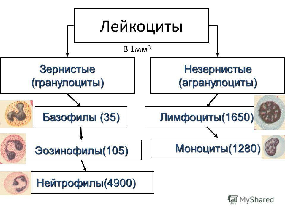 Лейкоциты Зернистые (гранулоциты) Базофилы (35) Незернистые (агранулоциты) Лимфоциты(1650) Эозинофилы(105) Нейтрофилы(4900) Моноциты(1280) В 1мм 3