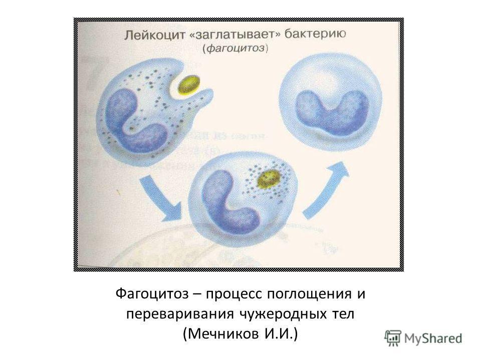 Фагоцитоз – процесс поглощения и переваривания чужеродных тел (Мечников И.И.)