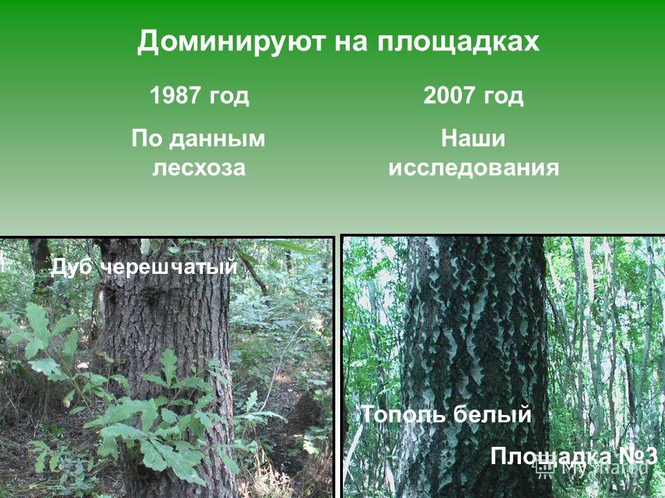 Доминируют на площадках Дуб черешчатый Площадка 1 Ясень обыкновенный Площадка 3 Тополь белый 2007 год Наши исследования 1987 год По данным лесхоза