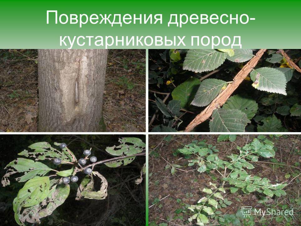 Повреждения древесно- кустарниковых пород