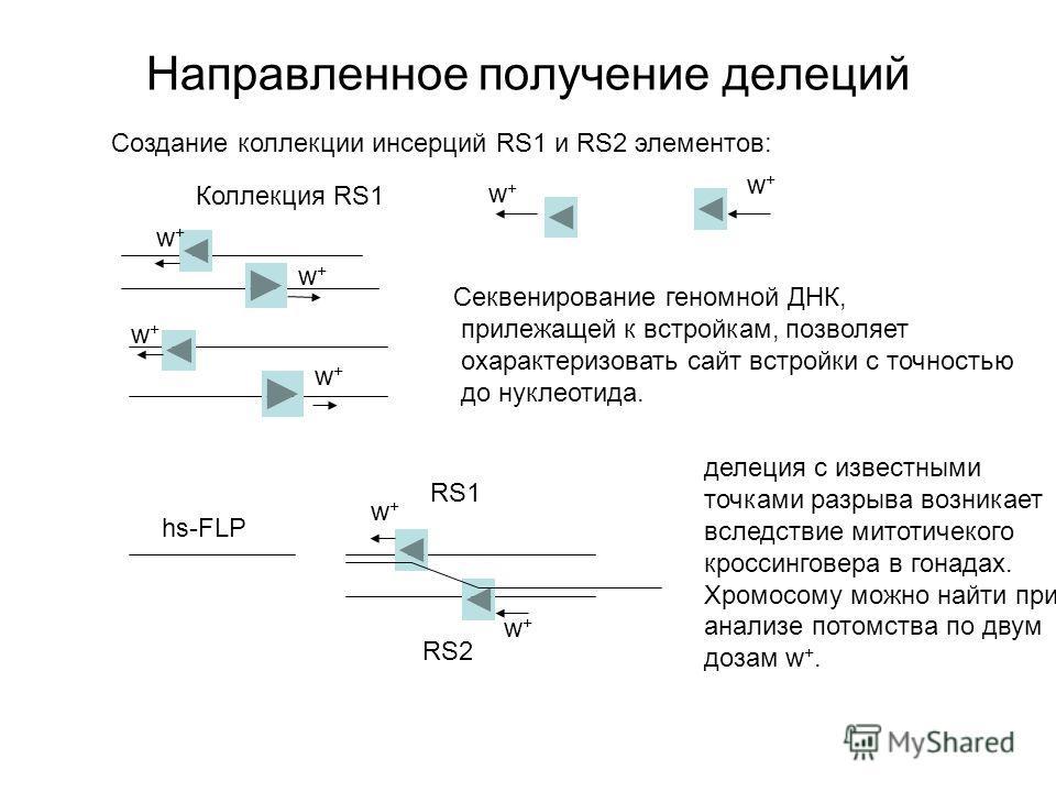 Направленное получение делеций Создание коллекции инсерций RS1 и RS2 элементов: Секвенирование геномной ДНК, прилежащей к встройкам, позволяет охарактеризовать сайт встройки с точностью до нуклеотида. hs-FLP делеция с известными точками разрыва возни
