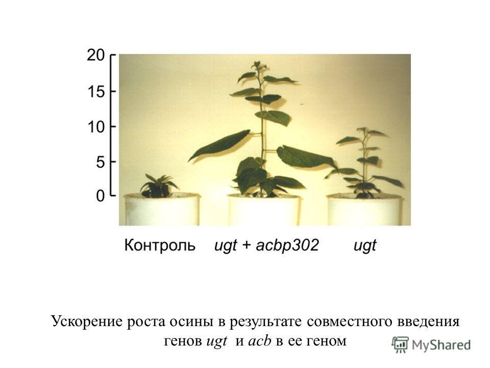 Ускорение роста осины в результате совместного введения генов ugt и acb в ее геном