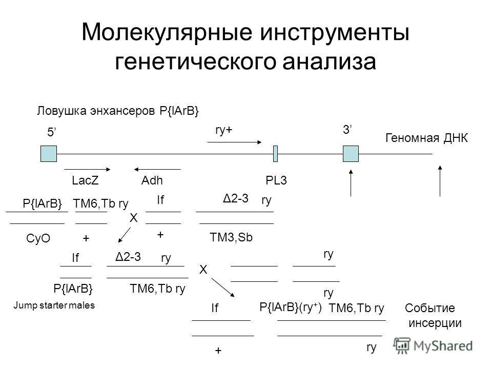 Молекулярные инструменты генетического анализа Ловушка энхансеров P{lArB} 5 3 LacZAdh ry+ PL3 Геномная ДНК X Δ2-3 TM3,Sb P{lArB} CyO Δ2-3 TM6,Tb ry + If + P{lArB} If TM6,Tb ry X ry TM6,Tb ry ry P{lArB}(ry + )If + Jump starter males Событие инсерции