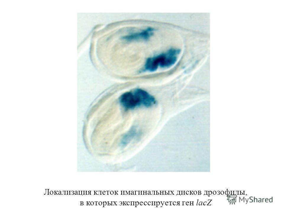 Локализация клеток имагинальных дисков дрозофилы, в которых экспрессируется ген lacZ