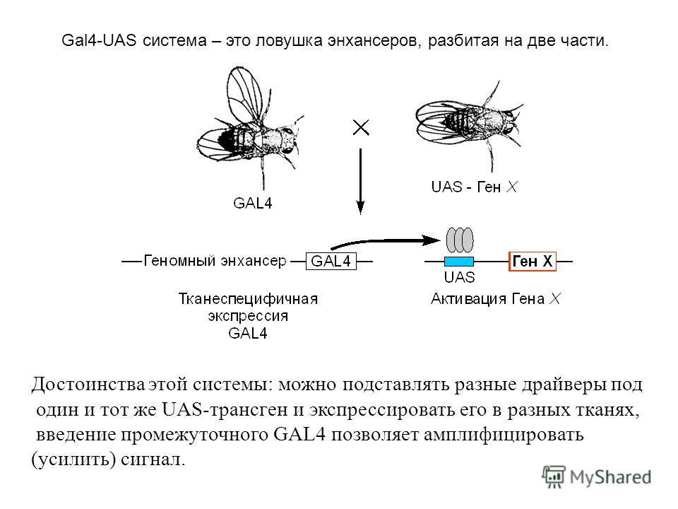 Достоинства этой системы: можно подставлять разные драйверы под один и тот же UAS-трансген и экспрессировать его в разных тканях, введение промежуточного GAL4 позволяет амплифицировать (усилить) сигнал. Gal4-UAS система – это ловушка энхансеров, разб