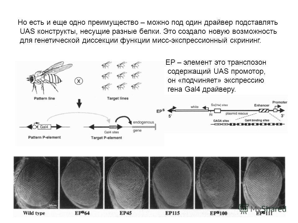 Но есть и еще одно преимущество – можно под один драйвер подставлять UAS конструкты, несущие разные белки. Это создало новую возможность для генетической диссекции функции мисс-экспрессионный скрининг. EP – элемент это транспозон содержащий UAS промо