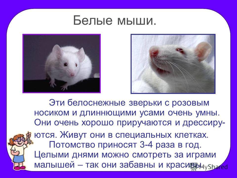 Белые мыши. Эти белоснежные зверьки с розовым носиком и длиннющими усами очень умны. Они очень хорошо приручаются и дрессиру- ются. Живут они в специальных клетках. Потомство приносят 3-4 раза в год. Целыми днями можно смотреть за играми малышей – та