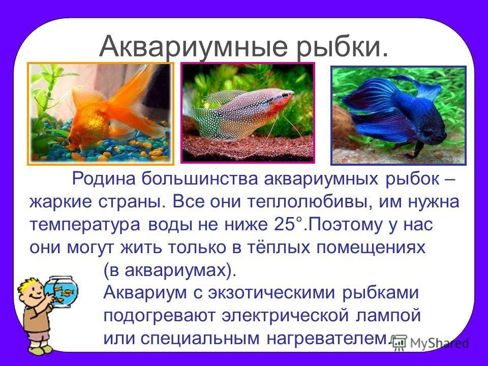 Аквариумные рыбки. Родина большинства аквариумных рыбок – жаркие страны. Все они теплолюбивы, им нужна температура воды не ниже 25°.Поэтому у нас они могут жить только в тёплых помещениях (в аквариумах). Аквариум с экзотическими рыбками подогревают э