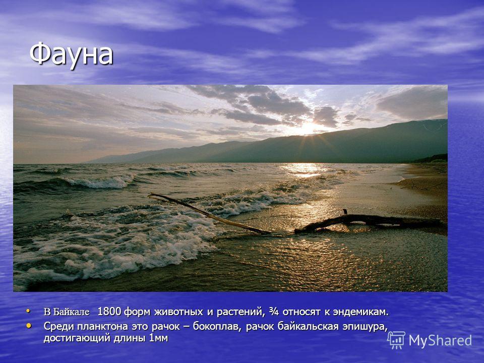 Фауна В Байкале 1800 форм животных и растений, ¾ относят к эндемикам. В Байкале 1800 форм животных и растений, ¾ относят к эндемикам. Среди планктона это рачок – бокоплав, рачок байкальская эпишура, достигающий длины 1мм Среди планктона это рачок – б