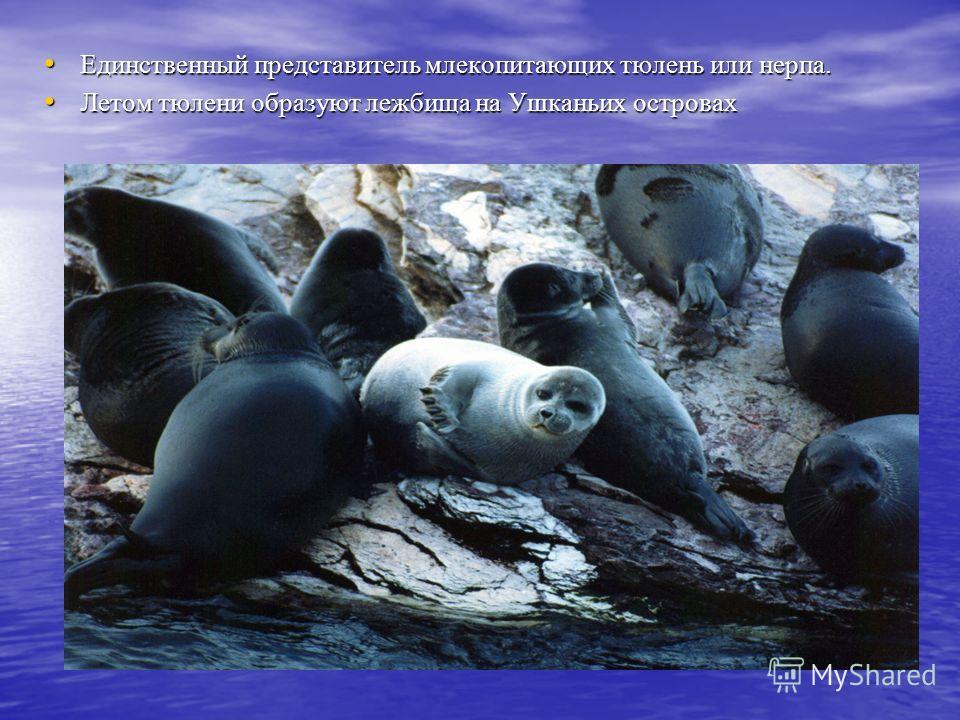 Единственный представитель млекопитающих тюлень или нерпа. Единственный представитель млекопитающих тюлень или нерпа. Летом тюлени образуют лежбища на Ушканьих островах Летом тюлени образуют лежбища на Ушканьих островах