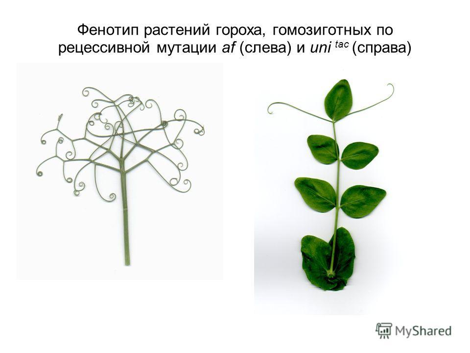 Фенотип растений гороха, гомозиготных по рецессивной мутации af (слева) и uni tac (справа)