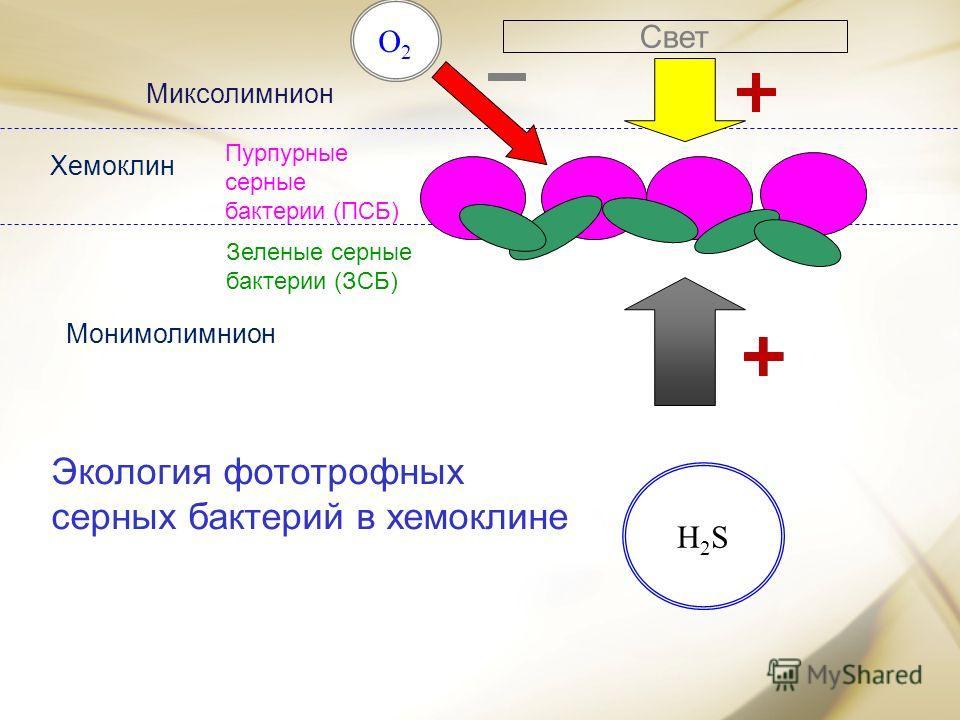 H2SH2S O2O2 Свет Пурпурные серные бактерии (ПСБ) Зеленые серные бактерии (ЗСБ) Экология фототрофных серных бактерий в хемоклине H2SH2S Миксолимнион Хемоклин Монимолимнион
