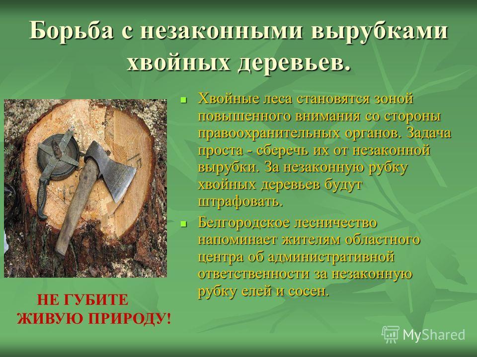 Борьба с незаконными вырубками хвойных деревьев. Хвойные леса становятся зоной повышенного внимания со стороны правоохранительных органов. Задача проста - сберечь их от незаконной вырубки. За незаконную рубку хвойных деревьев будут штрафовать. Хвойны