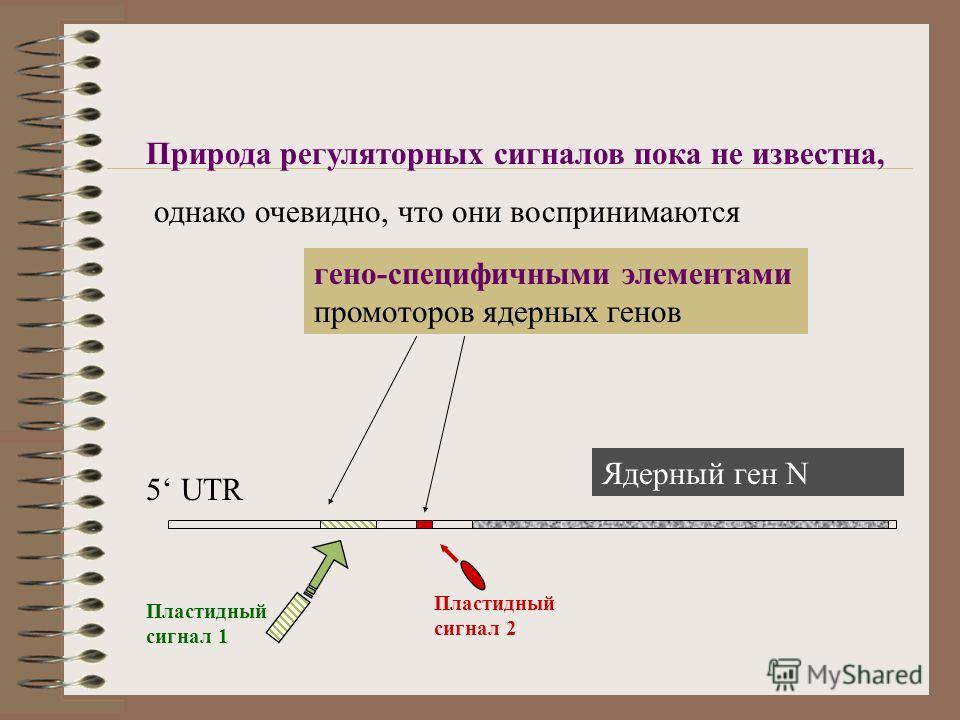 гено-специфичными элементами промоторов ядерных генов Природа регуляторных сигналов пока не известна, однако очевидно, что они воспринимаются 5 UTR Пластидный сигнал 1 Пластидный сигнал 2 Ядерный ген N