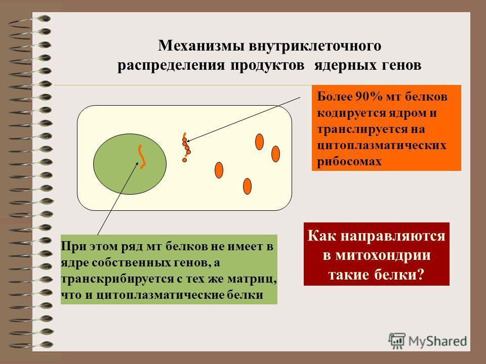 Механизмы внутриклеточного распределения продуктов ядерных генов При этом ряд мт белков не имеет в ядре собственных генов, а транскрибируется с тех же матриц, что и цитоплазматические белки Более 90% мт белков кодируется ядром и транслируется на цито