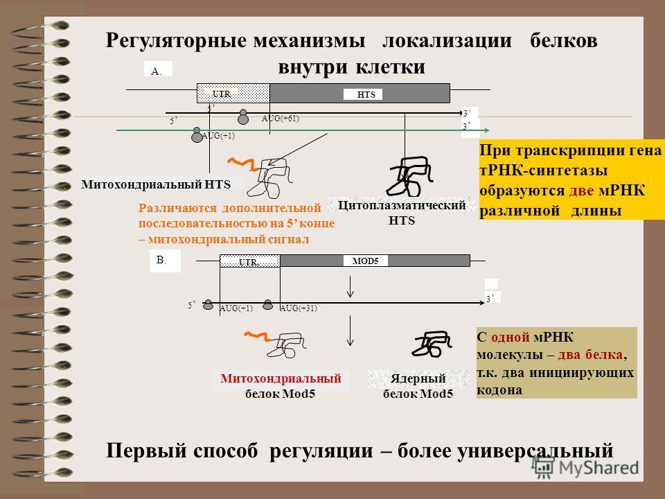 Регуляторные механизмы локализации белков внутри клетки Митохондриальный белок Mod5 Ядерный белок Mod5 MOD5 UTR. 5 3 AUG(+31)AUG(+1) B. Митохондриальный HTS Цитоплазматический HTS HTS UTR 5 5 3 3 AUG(+61) AUG(+1) A. При транскрипции гена тРНК-синтета