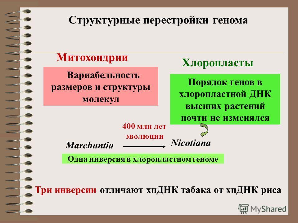Три инверсии отличают хпДНК табака от хпДНК риса Структурные перестройки генома В то время как митохондриальные ДНК высших растений отличаются значительной вариабельностью размеров и структуры молекул, порядок генов в хлоропластной ДНК высших растени