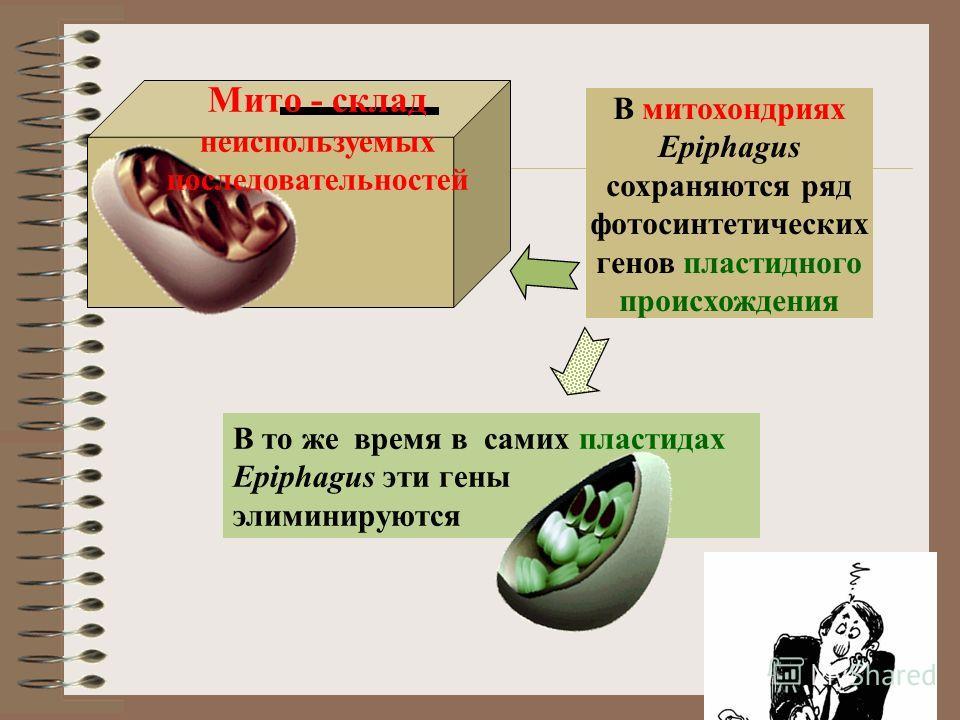 В то же время в самих пластидах Epiphagus эти гены элиминируются Мито - склад неиспользуемых последовательностей В митохондриях Epiphagus сохраняются ряд фотосинтетических генов пластидного происхождения