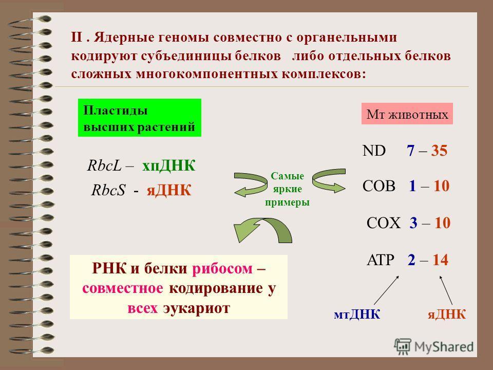 II. Ядерные геномы совместно с органельными кодируют субъединицы белков либо отдельных белков сложных многокомпонентных комплексов: Мт животных ND 7 – 35 COB 1 – 10 COX 3 – 10 ATP 2 – 14 Пластиды высших растений RbcL – хпДНК мтДНК яДНК RbcS - яДНК РН