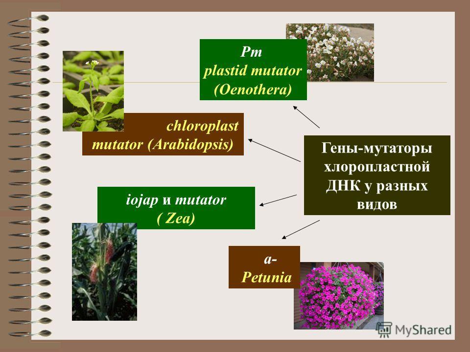 a- Petunia Гены-мутаторы хлоропластной ДНК у разных видов Pm plastid mutator (Oenothera) chm chloroplast mutator (Arabidopsis) iojap и mutator ( Zea)