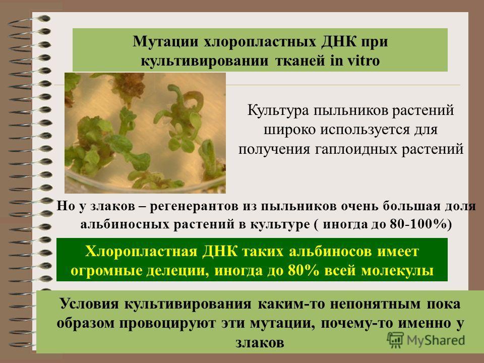 Мутации хлоропластных ДНК при культивировании тканей in vitro Культура пыльников растений широко используется для получения гаплоидных растений Но у злаков – регенерантов из пыльников очень большая доля альбиносных растений в культуре ( иногда до 80-
