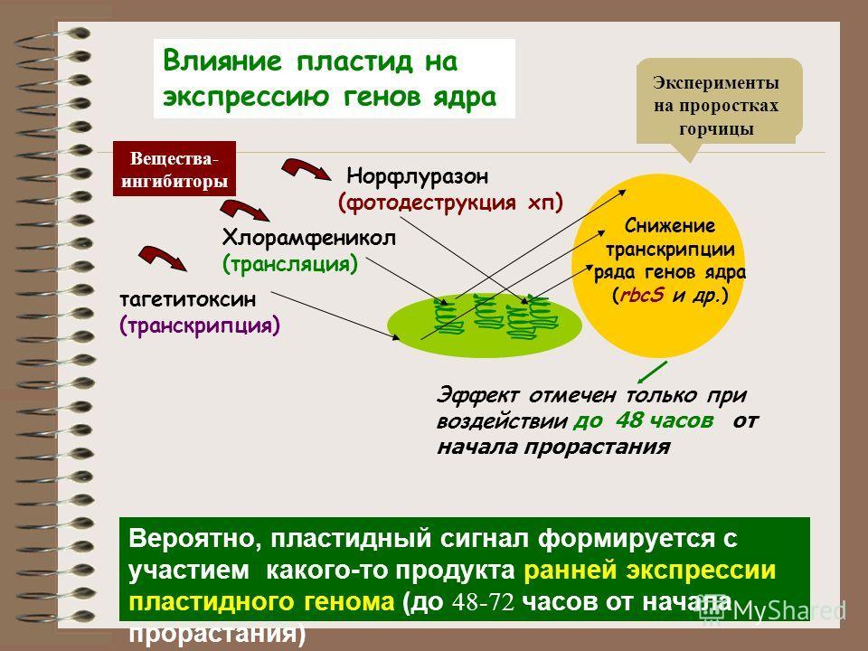 Эффект отмечен только при воздействии до 48 часов от начала прорастания тагетитоксин (транскрипция) Снижение транскрипции ряда генов ядра (rbcS и др.) Норфлуразон (фотодеструкция хп) Хлорамфеникол (трансляция) Влияние пластид на экспрессию генов ядра