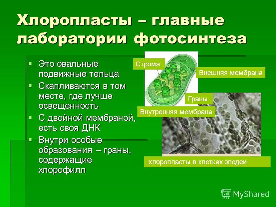 Хлоропласты – главные лаборатории фотосинтеза Это овальные подвижные тельца Это овальные подвижные тельца Скапливаются в том месте, где лучше освещенность Скапливаются в том месте, где лучше освещенность С двойной мембраной, есть своя ДНК С двойной м