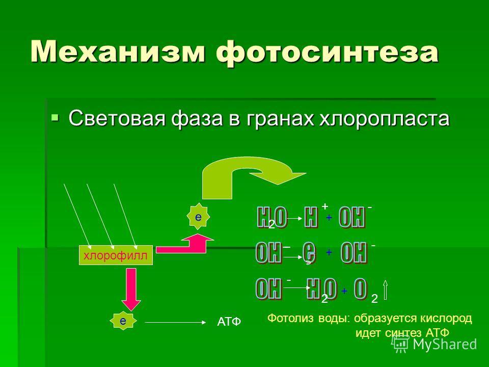 Механизм фотосинтеза Световая фаза в гранах хлоропласта Световая фаза в гранах хлоропласта хлорофилл е е АТФ 2 +- + _ - - 2 + 2 Фотолиз воды: образуется кислород идет синтез АТФ +