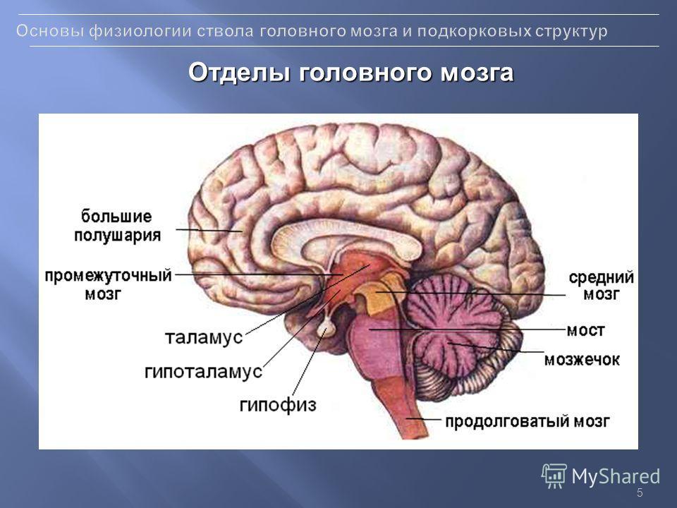 5 Отделы головного мозга