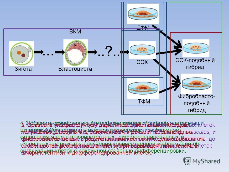 1. Провести морфологический анализ эмбриональных стволовых клеток линии E14Tg2aSc4TP6.3, полученной из мышей 129/Ola Mus musculus, и сравнить их с клетками предимплантационных эмбрионов (от зиготы до бластоцисты) для оценки влияния культивирования на