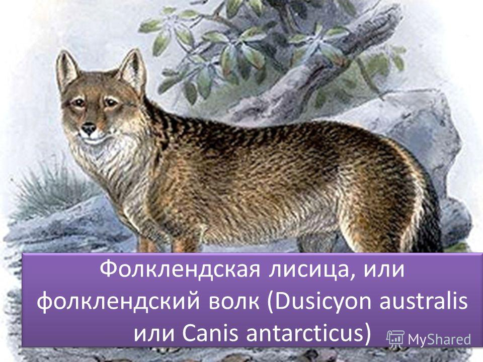 Фолклендская лисица, или фолклендский волк (Dusicyon australis или Canis antarcticus)