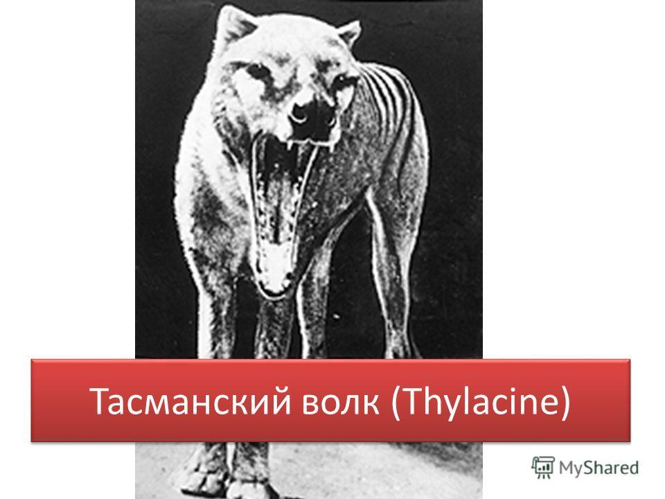 Тасманский волк (Thylacine)