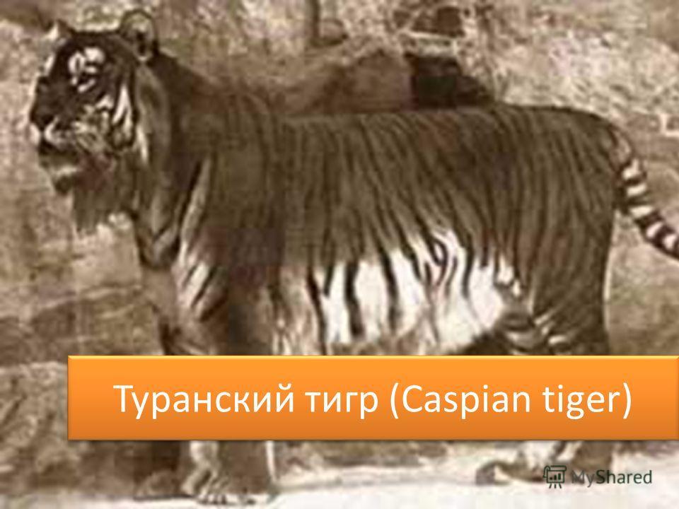 Туранский тигр (Caspian tiger)