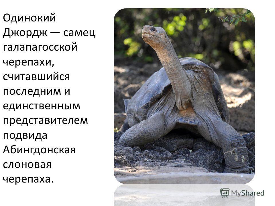 Одинокий Джордж самец галапагосской черепахи, считавшийся последним и единственным представителем подвида Абингдонская слоновая черепаха.