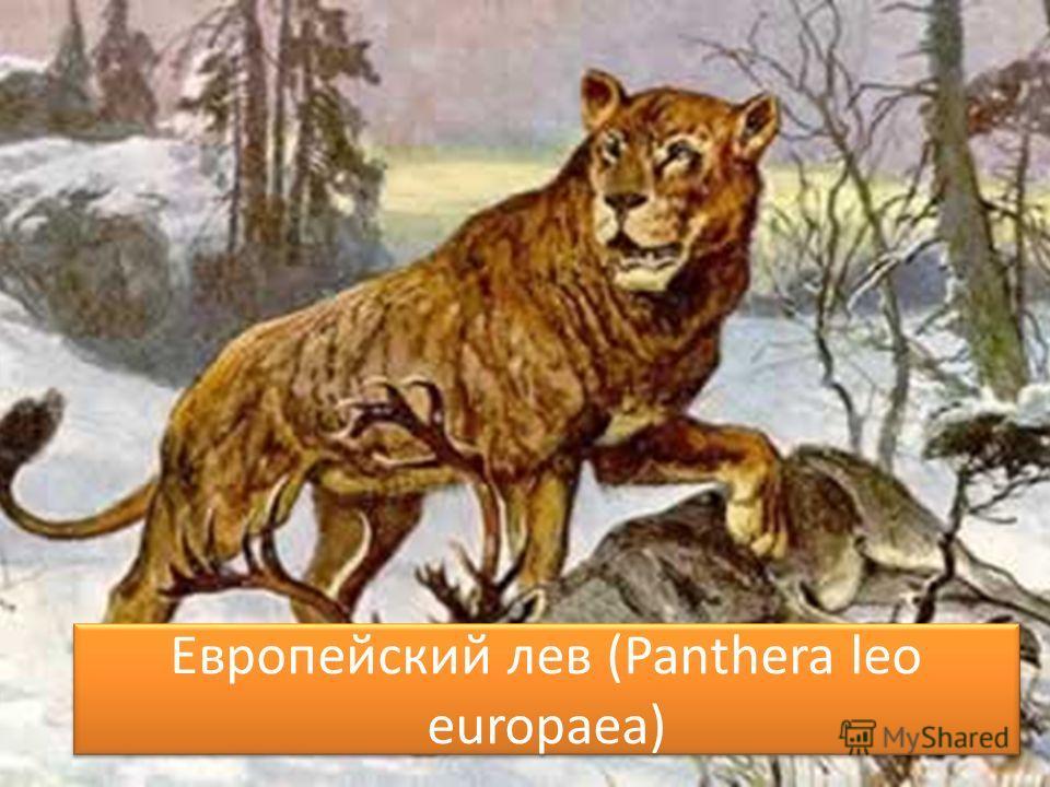 Европейский лев (Panthera leo europaea)