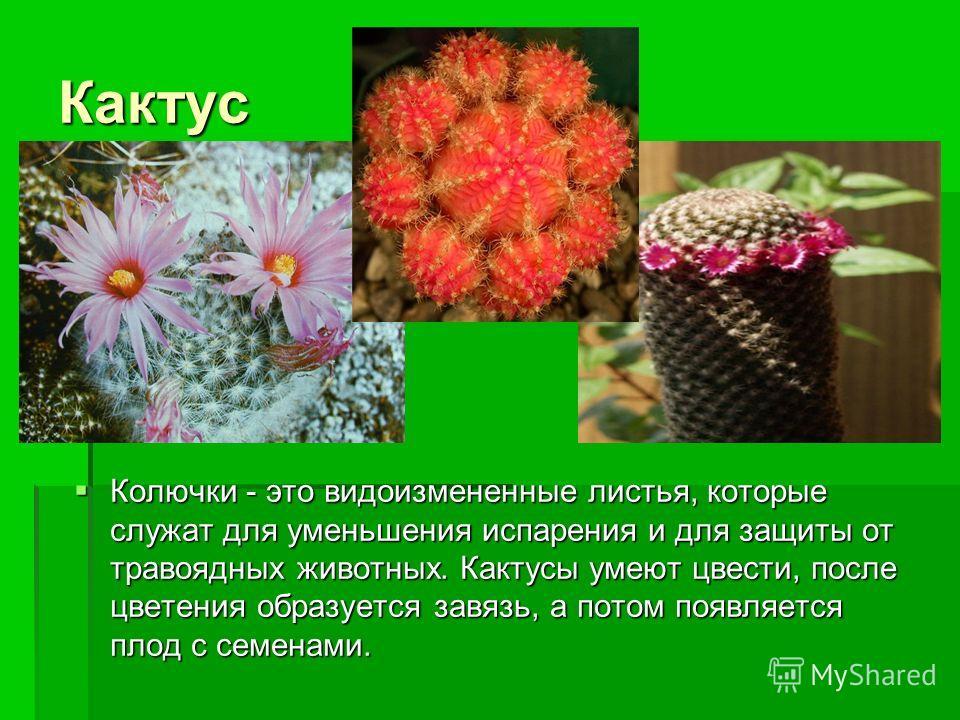 Кактус Колючки - это видоизмененные листья, которые служат для уменьшения испарения и для защиты от травоядных животных. Кактусы умеют цвести, после цветения образуется завязь, а потом появляется плод с семенами. Колючки - это видоизмененные листья,