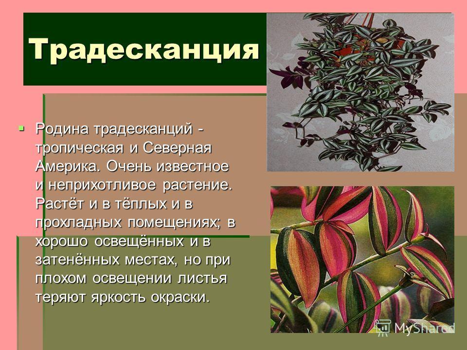 Традесканция Родина традесканций - тропическая и Северная Америка. Очень известное и неприхотливое растение. Растёт и в тёплых и в прохладных помещениях; в хорошо освещённых и в затенённых местах, но при плохом освещении листья теряют яркость окраски